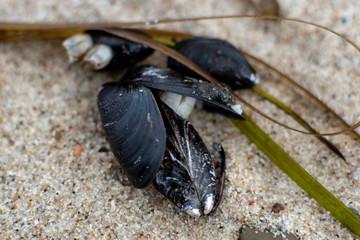 Makroaufnahme einer Mieschmuschel und Seetang am Strand