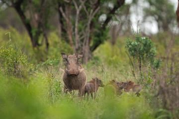 desert warthog, phacochoerus aethiopicus