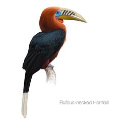 Fototapeta rufous necked hornbill hand drawn vector illustration obraz
