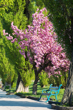 bench under the sakura tree in a park. beautiful urban scenery in the morning. wonderful background in springtime
