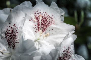 beautiful white flowers in the rhododendron park