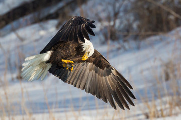 A Wild, Mature Bald Eagle Catching Fish in the Iowa River