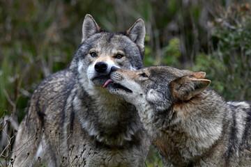 Photo sur Plexiglas Loup sozialer Kontakt unter Wölfen (Canis lupus lupus) - gray wolf
