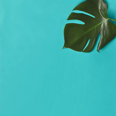 Monstera leaf  isolated on blue background.