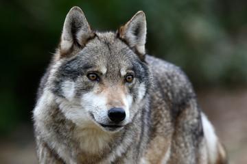 Photo sur Plexiglas Loup Europäischer Wolf (Canis lupus lupus) - gray wolf