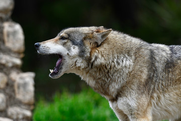 heulender Wolf (Canis lupus lupus) - gray wolf