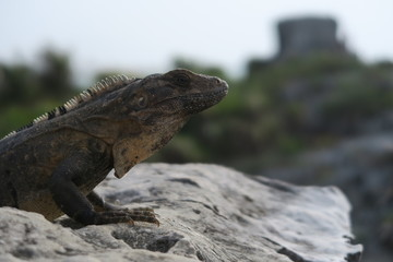 Lizard at the Maya Ruins of Tulum Mexico
