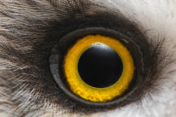 Owl's eye close-up, macro photo, Eye of the Short-eared Owl, Asio flammeus