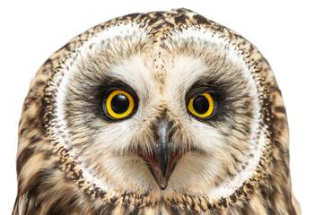 Portrait of the Short-eared Owl, Asio flammeus. Close-up