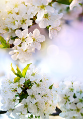 Blossom tree over colorful nature background. Spring background.