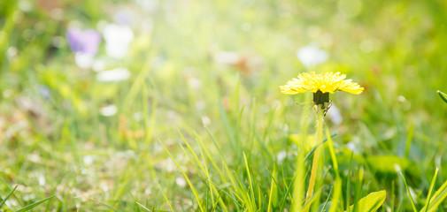 Dandelion on the sunshine. Allergen flower. Spring and new beginning concept