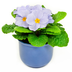 Primroses and flower pot isolated against white background