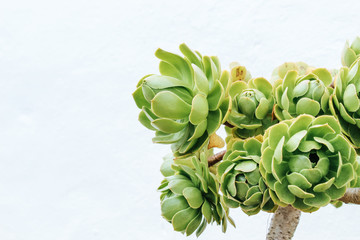 Rose flower shaped succulent plant (Greenovia Dodrentalis) isolated against a white wall background.