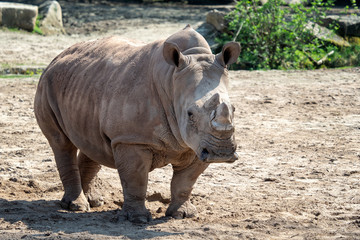 Southern White Rhinoceros (Ceratotherium simum)
