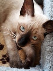 Gato siamês siamese cat