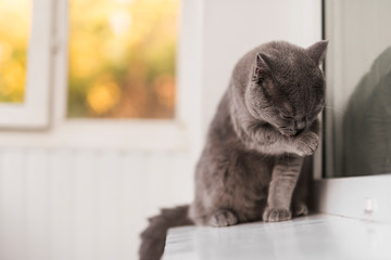 Close up of grey british shorthair cat cleaning himself Wall mural