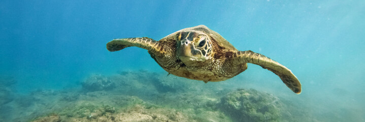 In de dag Onder water Green sea turtle above coral reef underwater photograph in Hawaii