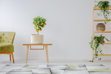 Mandarin tree in natural pot on wooden coffee table in the middle of spacious interior with olive green armchair and shelf with plants