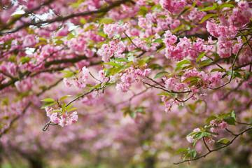 Beautiful tree in full bloom