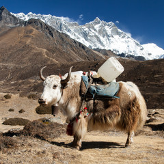 Papiers peints Népal Brown yak and mount lhotse - Nepal