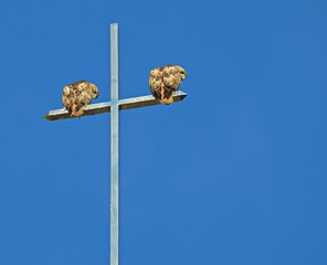 A Pair of Red-tail hawks on their favorite perch watching for prey below