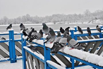 Gołębie na balustradzie