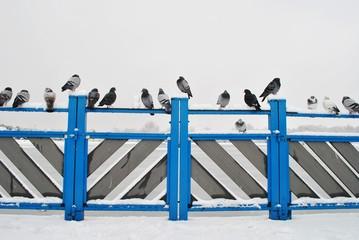 Gołębie na poręczy