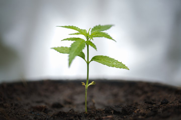 Obraz seedling of cannabis, Growth of marijuana trees , Cannabis leaves of a plant on a dark background, medicinal agricultur. - fototapety do salonu