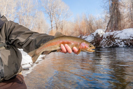 A winter fly fisherman holding a rainbow trout fish.