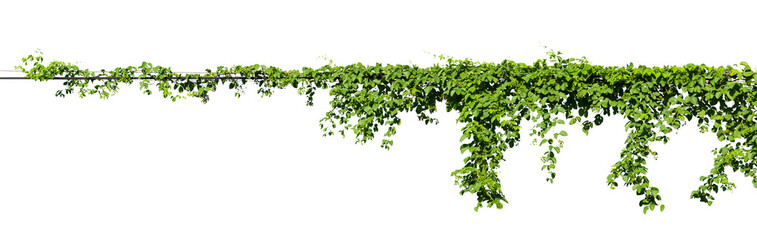 Obraz vine plant climbing isolated on white background with clipping path included. - fototapety do salonu