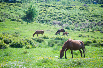 Several young beautiful horses graze on a beautiful landscape and eat green grass.