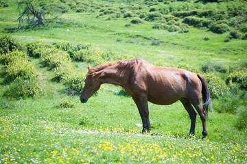 A young beautiful horse grazes on a beautiful landscape and eats green grass.