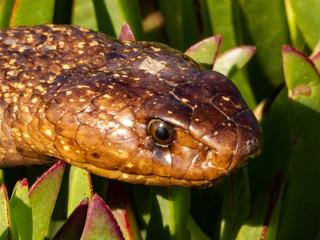 Cape Cobra (Naja nivea) amongst green plants