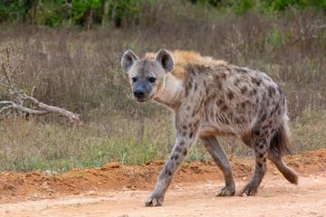 Deurstickers Hyena spotted hyena walking