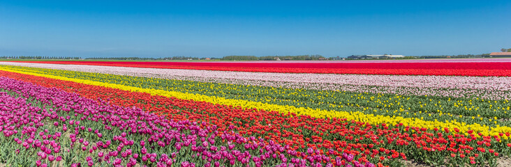 Panorama of a colorful tulips field in Noordoostpolder, Netherlands