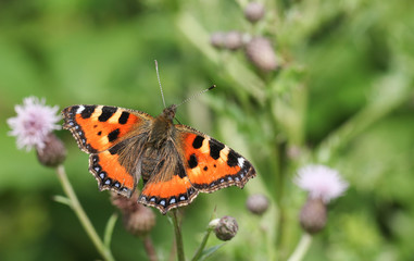 A pretty Small Tortoiseshell Butterfly (Aglais urticae) nectaring on a thistle flower.
