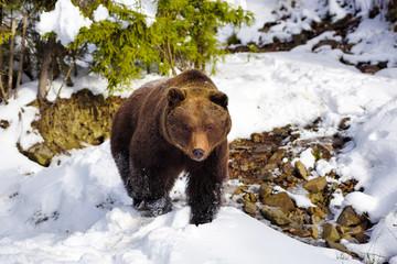 The brown bear in its natural habitat