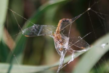 Spinnenbeute