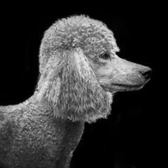 Detail Portrait of Poodle