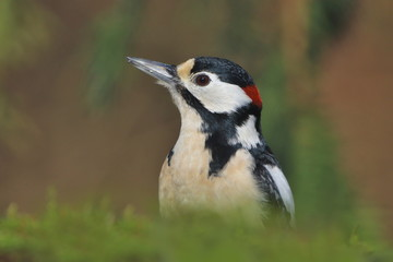 Portrait of a Great spotted woodpecker. Wildlife scene from nature. Dendrocopos major