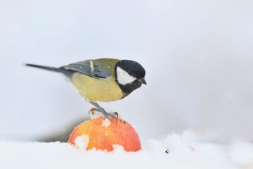Great tit sitting on a apple. Wildlife scene from nature. Song bird in the winter. Parus major
