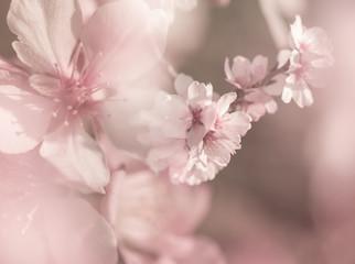 Papiers peints Fleur de cerisier Cherry blossoms with pastel colors,spring in the nature