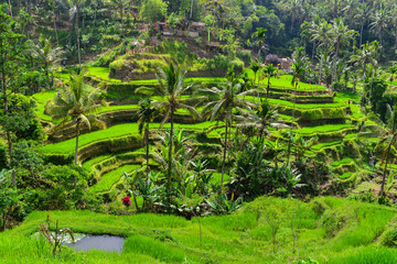 Terrace rice fields in the morning, Ubud, Bali, Indonesia
