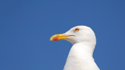 beautiful portrait of white free seagull with vivid blue sky as background with copy space
