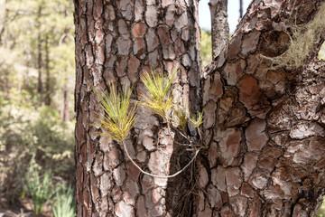 Branch of Canarian pine. Gran Canaria. Spain