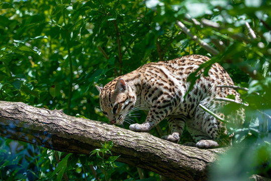 Ocelot in jungle tree branches