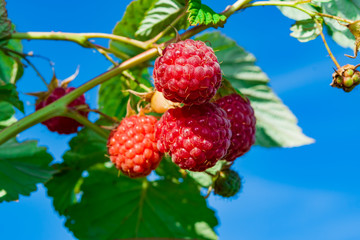 Ripe red raspberries on a branch with green leaves, illuminated by the sun, against the blue sky, summer landscape