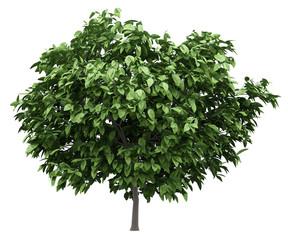 pomelo tree isolated on white background
