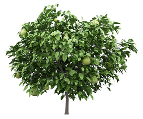 pomelo tree with fruits isolated on white background