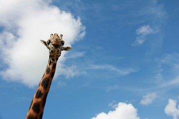 Long neck of a giraffe with blue sky and clouds in the background